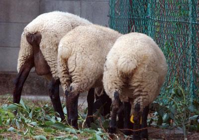 14.7.23羊おしり