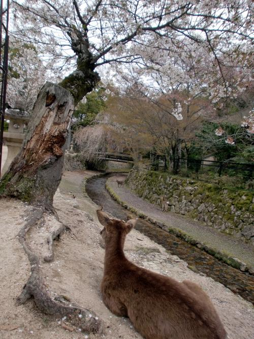 宮島の桜201404