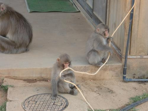 ひもで遊ぶ猿1