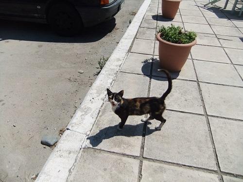 サモトラキ_港近くの猫さん