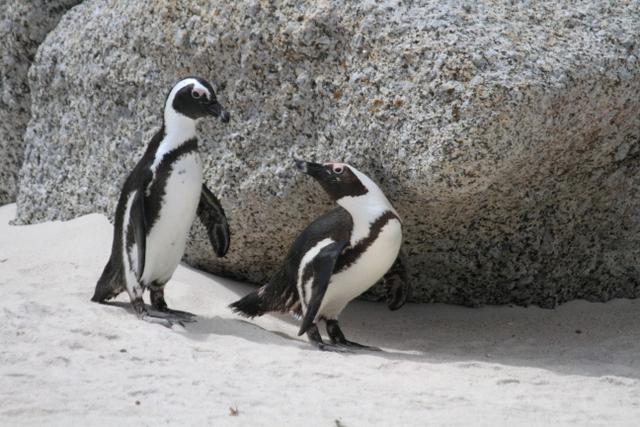 2-2ケープペンギン4(ケープタウン)