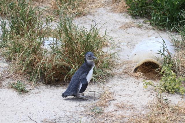 2-3ケープペンギン3(ケープタウン)