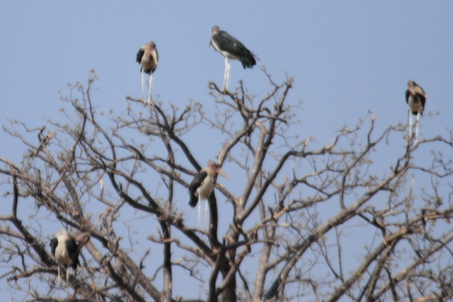 アフリカハゲコウ2
