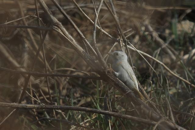 白いコゲラ (2)