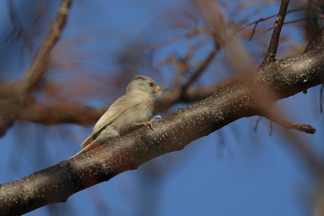 白いコゲラ (1)