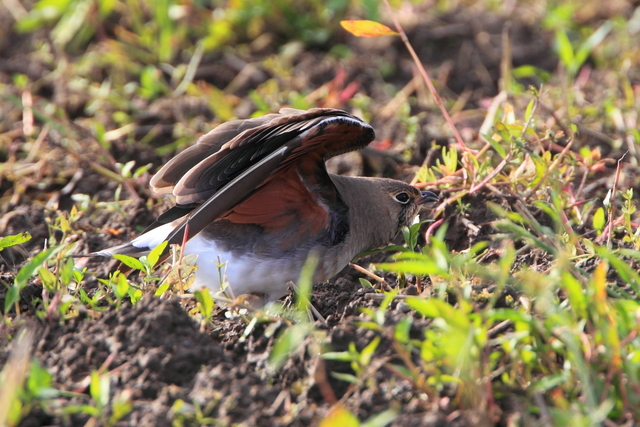 ツバメチドリ (4)