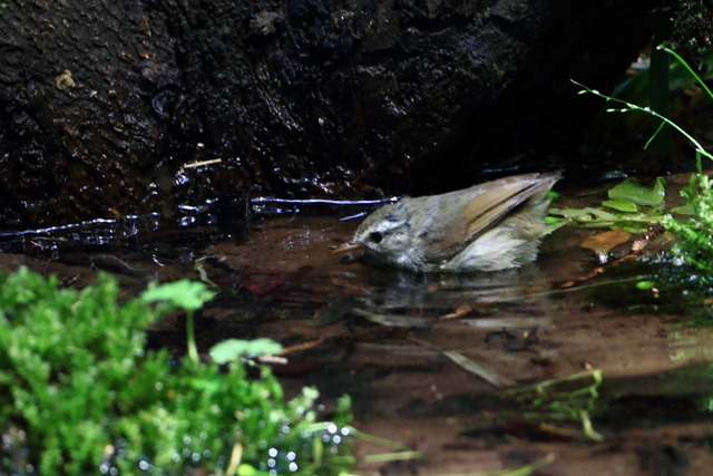 ヤブサメ (1)