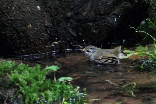 ヤブサメ (2)