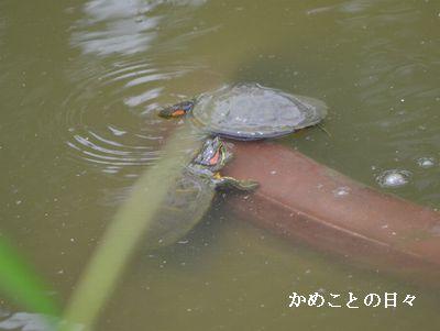 DSC_0017-kame.jpg