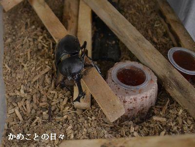 DSC_0865-kabu.jpg