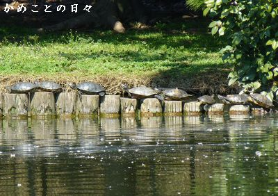P1110118-kame.jpg