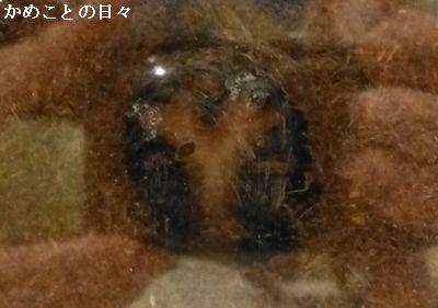 P1120123-kabu.jpg