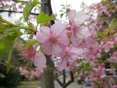 03-01 川津桜