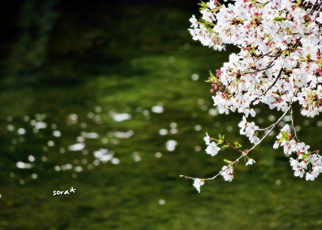 桜まつり7