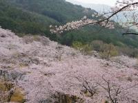 まるで桜の海