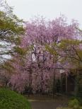 紅しだれ桜(いいちこ日田蒸留所)