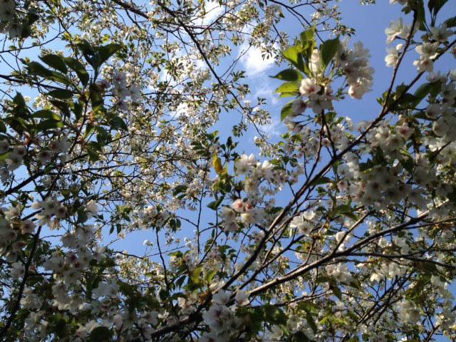 桜も咲いてます!