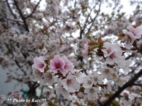 20140513 さくら (5)