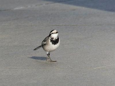 鳥ハクセキレイ140221府中市郷土の森 (2)T済、S済