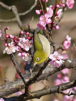 鳥メジロ140221府中市郷土の森 (12)T済、S済