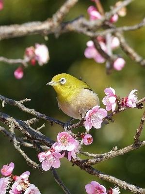 鳥メジロ140221府中市郷土の森 (19)T済、S済