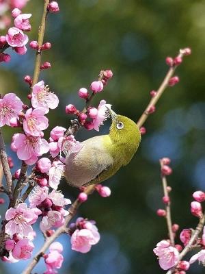 鳥メジロ140221府中市郷土の森 (25)T済、S済