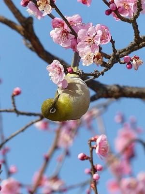 鳥メジロ140221府中市郷土の森 (30)S済