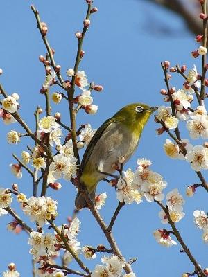 鳥メジロ140221府中市郷土の森 (43)S済