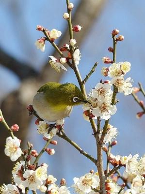 鳥メジロ140221府中市郷土の森 (48)T済、S済