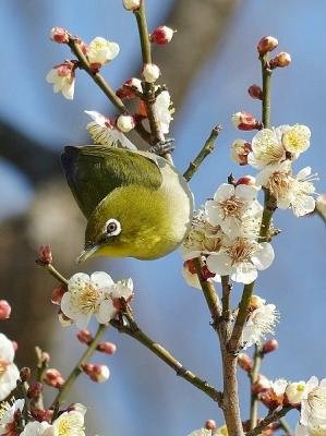 鳥メジロ140221府中市郷土の森 (50)T済、S済