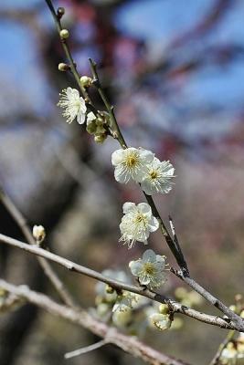 梅月の桂140311神代植物公園 (2)S済