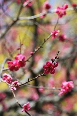 梅紅千鳥140311神代植物公園 (6)S済