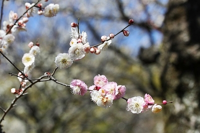 梅輪違い140311神代植物公園 (6)S済