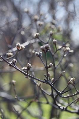 コバノガマズミ140311神代植物公園 (2)S済