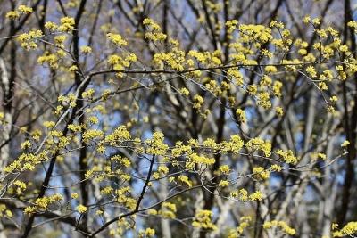 サンシュユ140311神代植物公園 (8)S済