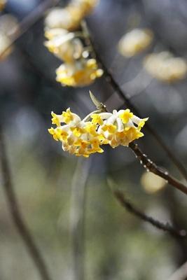 ミツマタ140311神代植物公園 (7)T済、S済