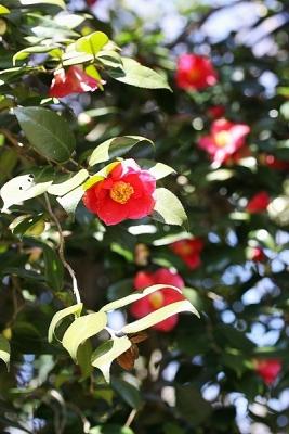 ヤブツバキ140311神代植物公園 (4)S済