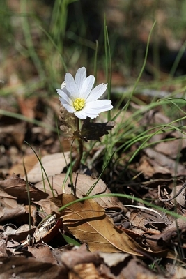 ユキワリイチゲ140311神代植物公園 (55)S済