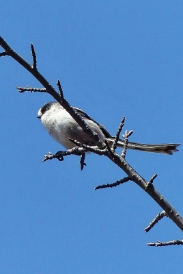 鳥エナガ140311神代植物公園 (2)T済、S済