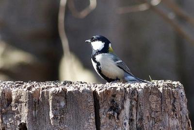 鳥シジュウカラ140311神代植物公園 (17)S済