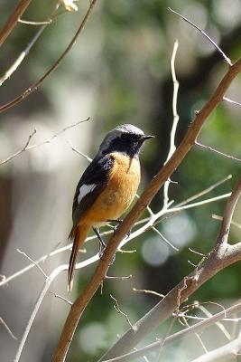 鳥ジョウビタキ♂140311神代植物公園 (5)S済