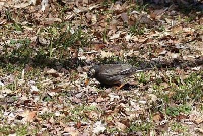 鳥ムクドリ140311神代植物公園 (3)S済