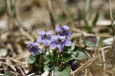 菫タチツボスミレ140328 (8)