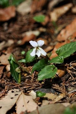 菫ナガバノスミレサイシン140328 (4)