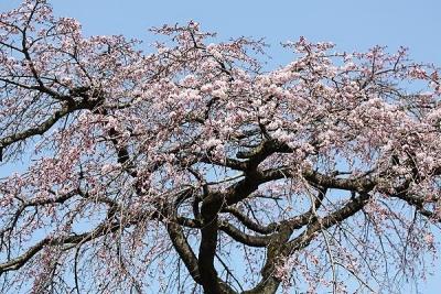 桜140328 (10)
