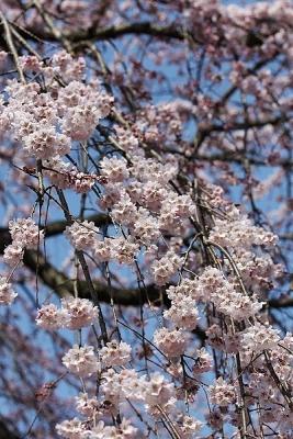 桜140328 (14)