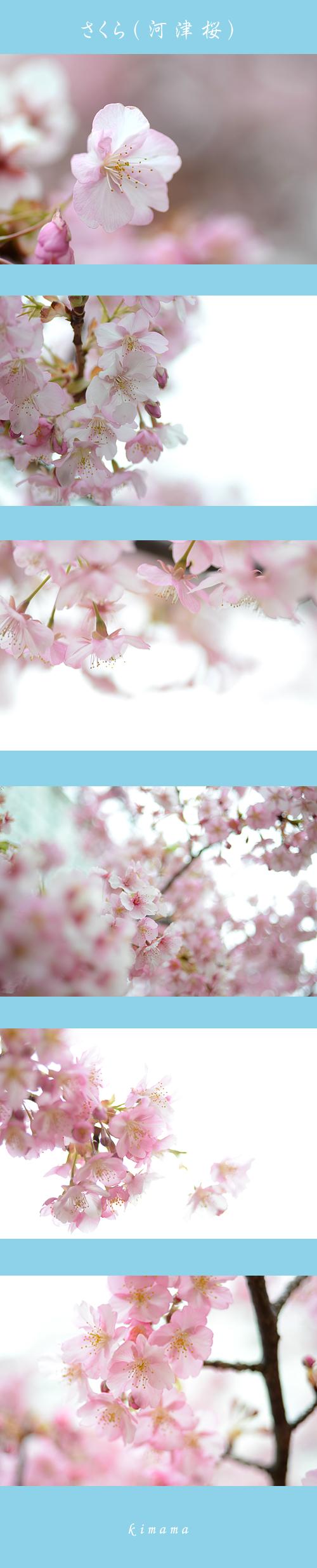 3月14日河津桜