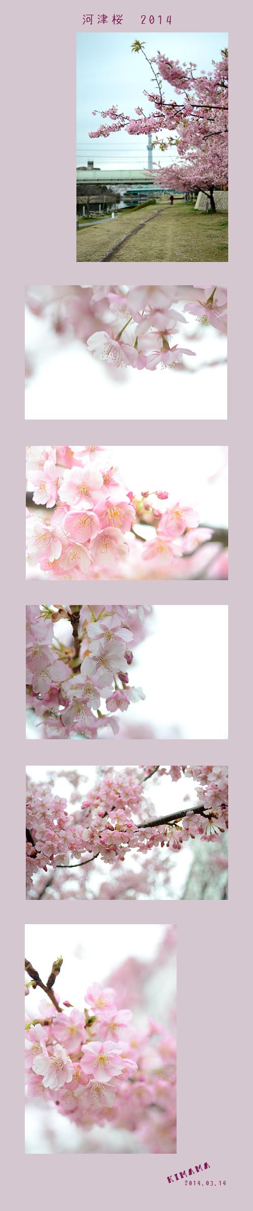 4月3日河津桜