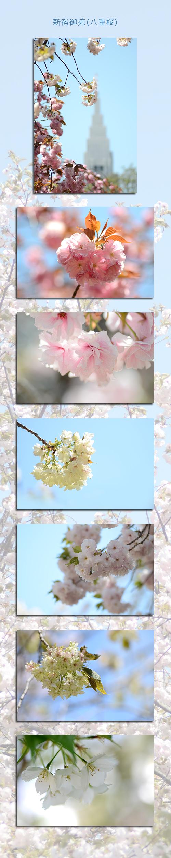 4月15日八重桜1