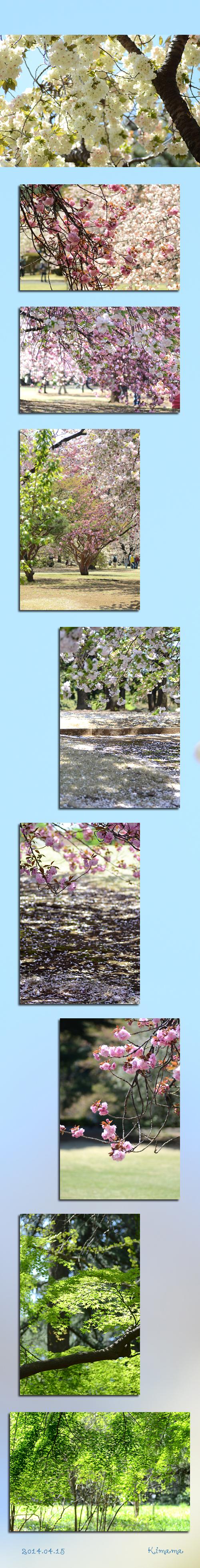 4月15日八重桜2